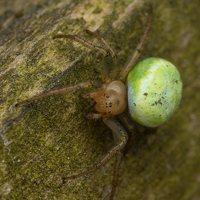 Araniella cucurbitina · raudondėmis voriukas 3534
