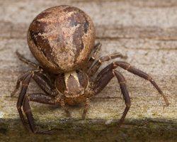 Thomisidae · krabvoriai 3535