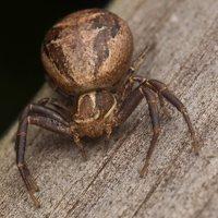 Thomisidae · krabvoriai 3536