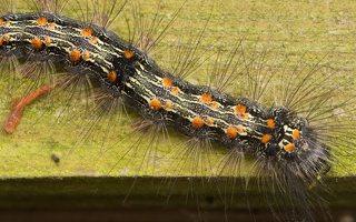 Lithosia quadra caterpillar · keturtaškė kerpytė, vikšras 3537