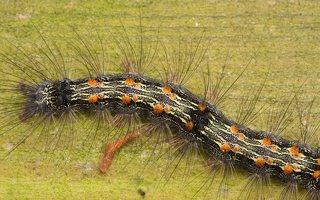 Lithosia quadra caterpillar · keturtaškė kerpytė, vikšras 3538