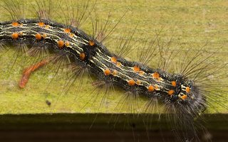 Lithosia quadra caterpillar · keturtaškė kerpytė, vikšras 3539