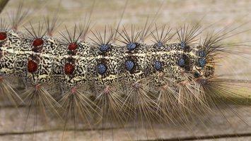 Lymantria dispar caterpillar · neporinis verpikas, vikšras 3542