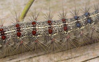Lymantria dispar caterpillar · neporinis verpikas, vikšras 3543