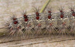 Lymantria dispar caterpillar · neporinis verpikas, vikšras 3544