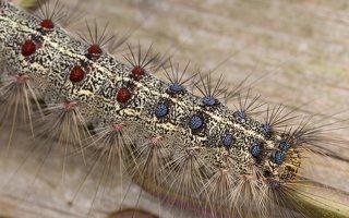 Lymantria dispar caterpillar · neporinis verpikas, vikšras 3545