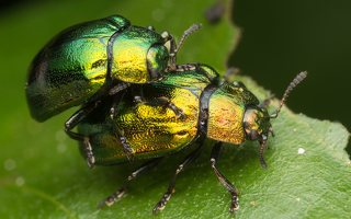 Plagiosterna aenea · žaliasis girinukas 3558