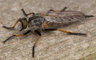 Asilidae · musė plėšrūnė 3559
