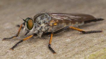 Asilidae · musė plėšrūnė 3562
