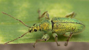 Phyllobius arborator · šeriuotasis lapinukas 3567