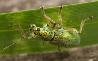 Phyllobius arborator · šeriuotasis lapinukas 3568