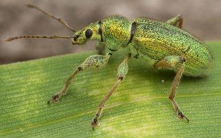 Phyllobius arborator · šeriuotasis lapinukas 3569