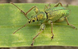 Phyllobius arborator · šeriuotasis lapinukas 3570