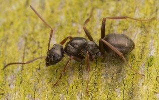 Formicidae · skruzdėlės 3571