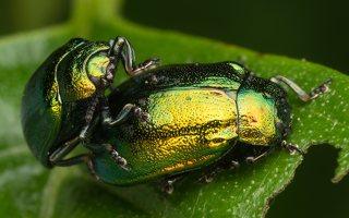 Plagiosterna aenea · žaliasis girinukas 3572