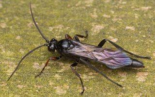 Hymenoptera · plėviasparnis 3578
