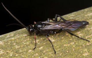 Hymenoptera · plėviasparnis 3580