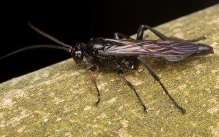 Hymenoptera · plėviasparnis 3581