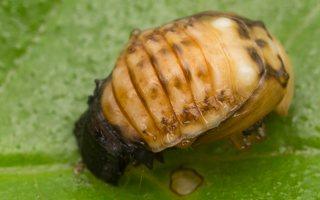 Plagiosterna aenea pupa · žaliasis girinukas, lėliukė 3584