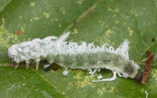 Eriocampa ovata larva · pjūklelis, lerva 3606