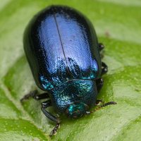 Plagiosterna aenea · žaliasis girinukas 3641