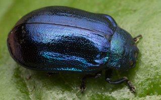 Plagiosterna aenea · žaliasis girinukas 3642