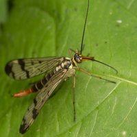 Panorpa communis female · paprastoji skorpionmusė ♀ 3658