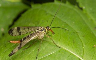 Panorpa communis female · paprastoji skorpionmusė ♀ 3659