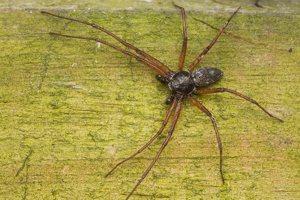 Philodromidae · vikrūnai 3665