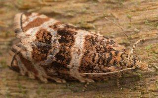 Celypha lacunana · dilgėlinė celifa 3670