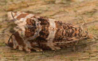 Celypha lacunana · dilgėlinė celifa 3674
