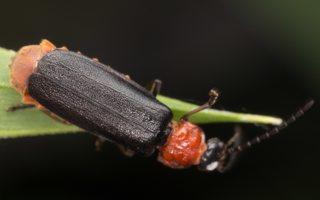 Crudosilis ruficollis · minkštavabalis 3709