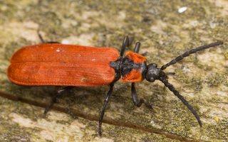 Lygistopterus sanguineus · žiedvabalis 3719