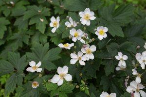 Anemone × hybrida · rudeninė plukė