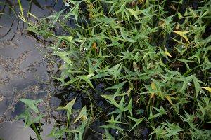 Sagittaria sagittifolia · strėlialapė papliauška 4692