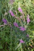 Lythrum salicaria · paprastoji raudoklė 4695