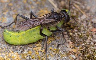 Ammophila sabulosa female · smėlinė amofila ♀ 5130