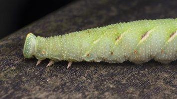 Smerinthus ocellatus caterpillar · akiuotasis sfinksas, vikšras 5572