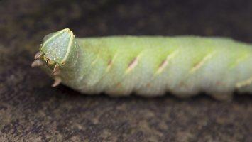 Smerinthus ocellatus caterpillar · akiuotasis sfinksas, vikšras 5575