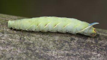 Smerinthus ocellatus caterpillar · akiuotasis sfinksas, vikšras 5577