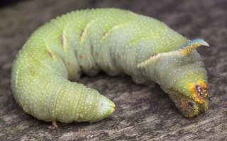 Smerinthus ocellatus caterpillar · akiuotasis sfinksas, vikšras 5586
