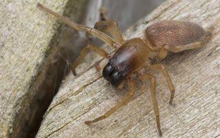 Clubionidae · maišiavoriai 5602