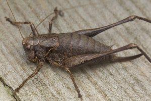 Pholidoptera griseoaptera · keršasis žiogas 5607