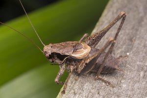 Pholidoptera griseoaptera · keršasis žiogas 5608