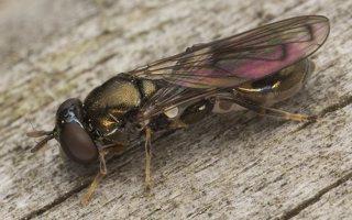 Syrphidae · žiedmusės 5611