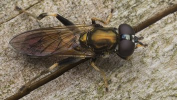 Syrphidae · žiedmusės 5622