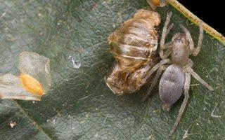 Clubionidae · maišiavoriai 5643