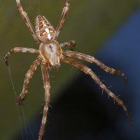 Araneus diadematus · paprastasis kryžiuotis 5655