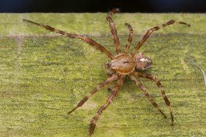 Araneus diadematus · paprastasis kryžiuotis 5657