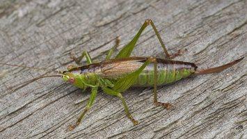 Conocephalus dorsalis · pelkinis smailiagalvis 5667